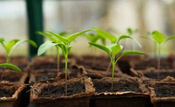 seedlings being planted