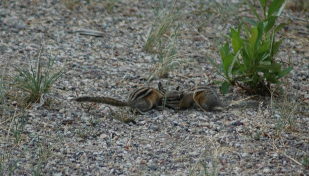 Chipmunks in the campground
