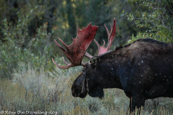 More moose pics
