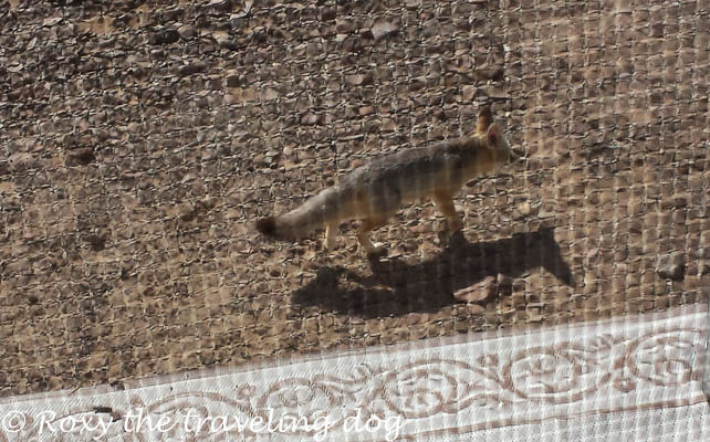 Fox tales in the desert