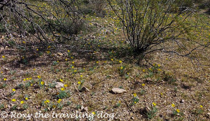 Boondocking near Wickenburg, Arizona, desert flowers