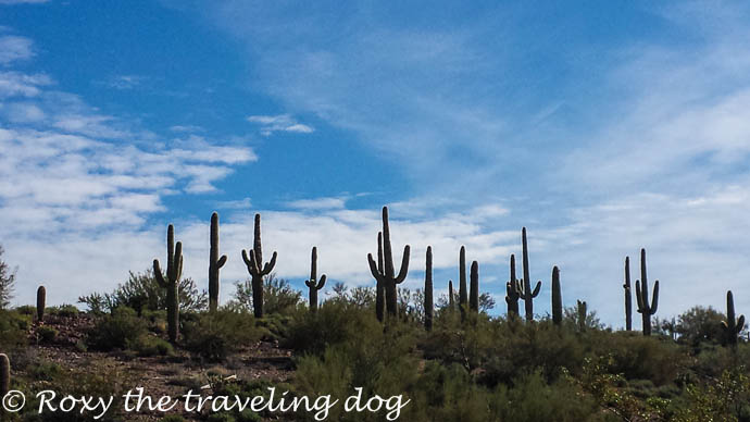 Boondocking near Wickenburg, Arizona, saguaro cactus