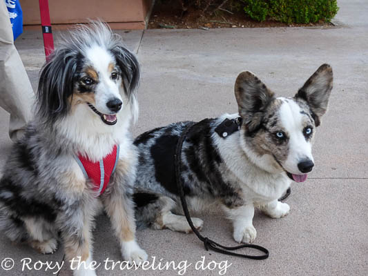 Look at these two blue merles together. They had an amazing time at blogpaws too.