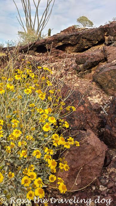 Sonoran desert flowers