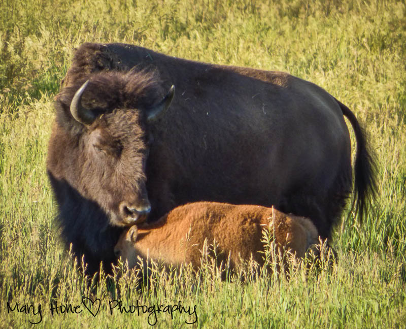 baby and mother bison in Wyoming