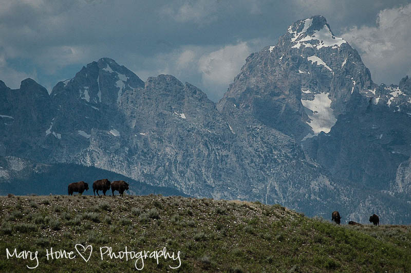 Tetons and bison