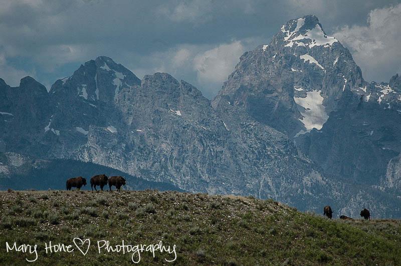 Tetons and bison