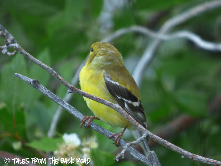 Beautiful yellow bird from idaho