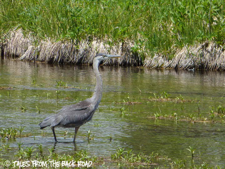 Henrys Fork river Idaho, Blue Heron