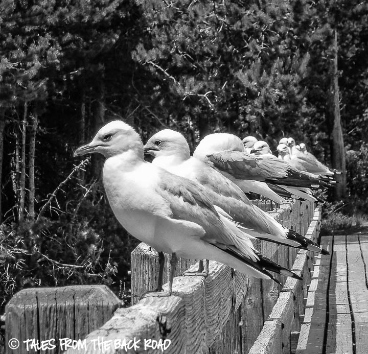 Black and White Sunday, seagulls