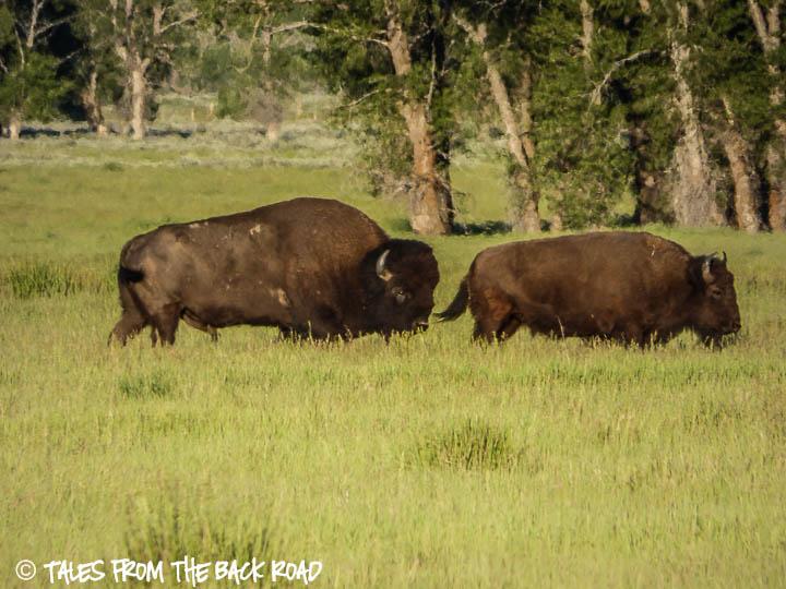 Big bull buffalo