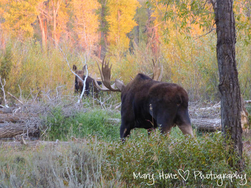 Moose in Wyoming