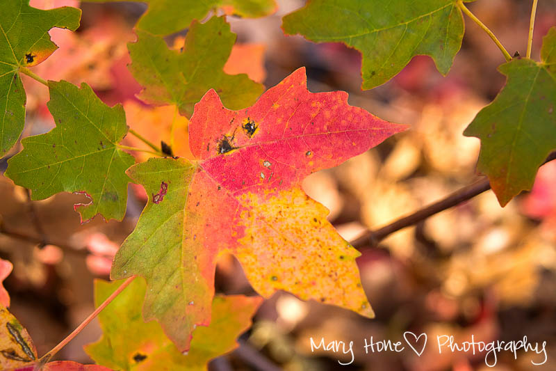 Fall leaves. Mary Hone photography