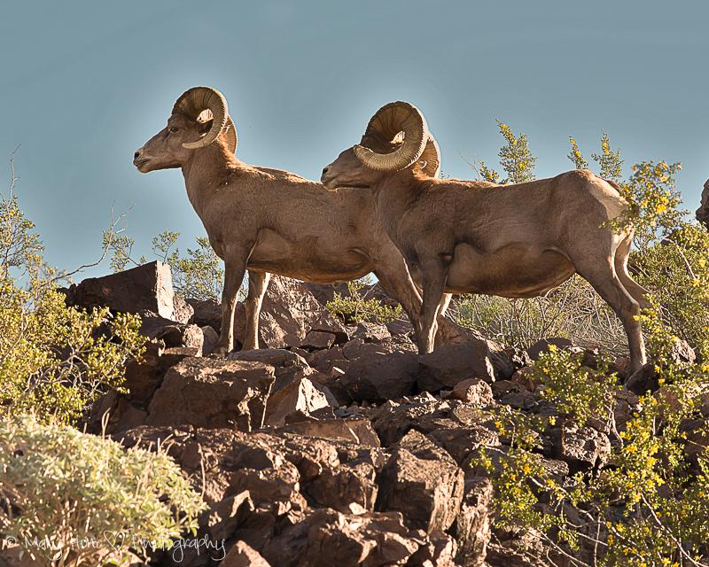 What a great photo op, desert bighorn sheep