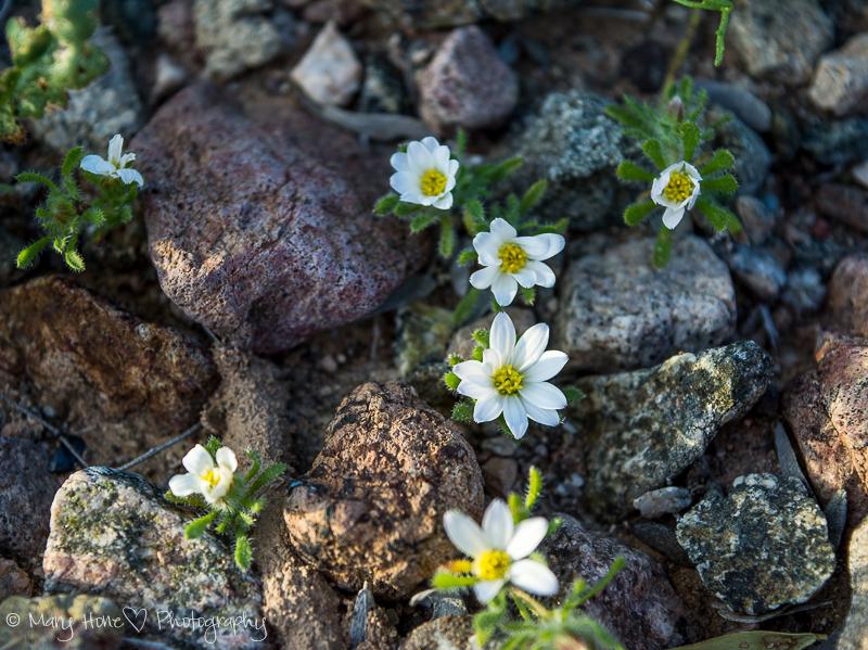 Woolly daisy in arizona