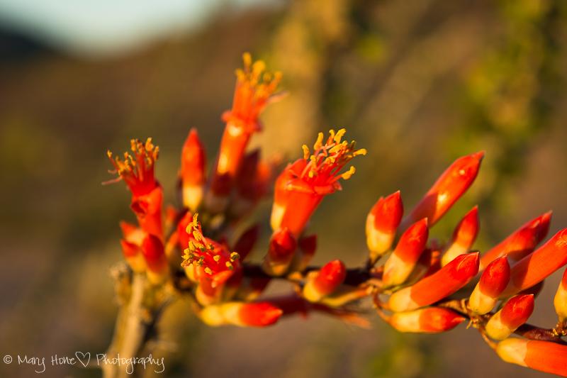 Ocotillo And still more desert flowers