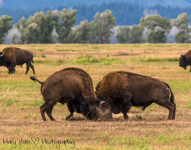 Bison in Grand Teton NP, bulls fighting