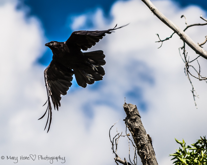 Seeing beautiful birds. Raven in flight