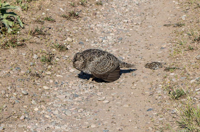 Mom and baby sage grouse