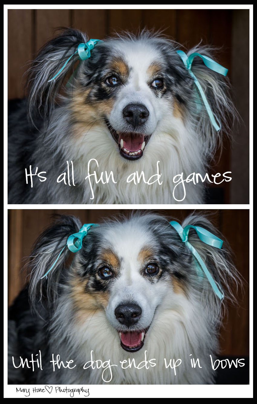 Dog in pigtail and bows