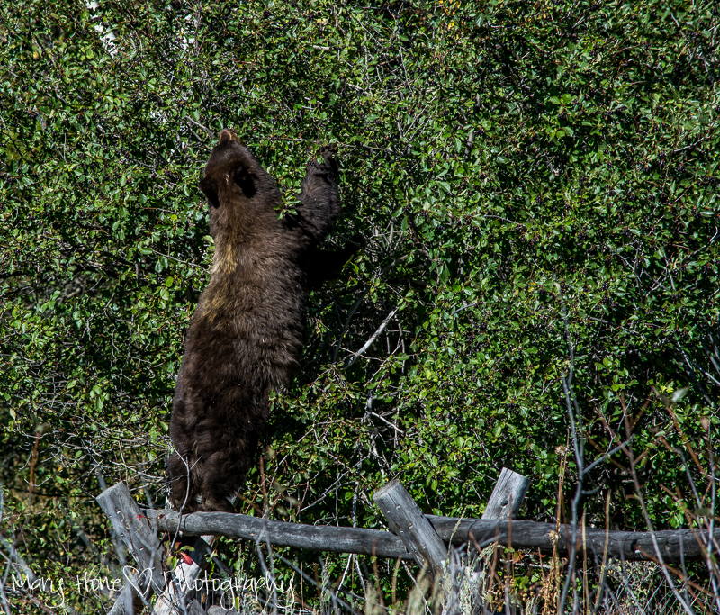 Bear standing on a fence, If you go down in the woods today