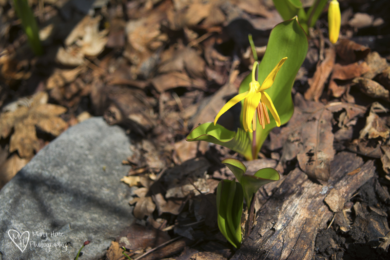 Pretty flowers and cute dogs. Glacier lily