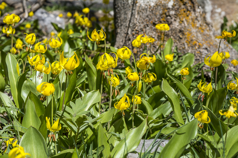 Flowers gone wild. Glacier lilies