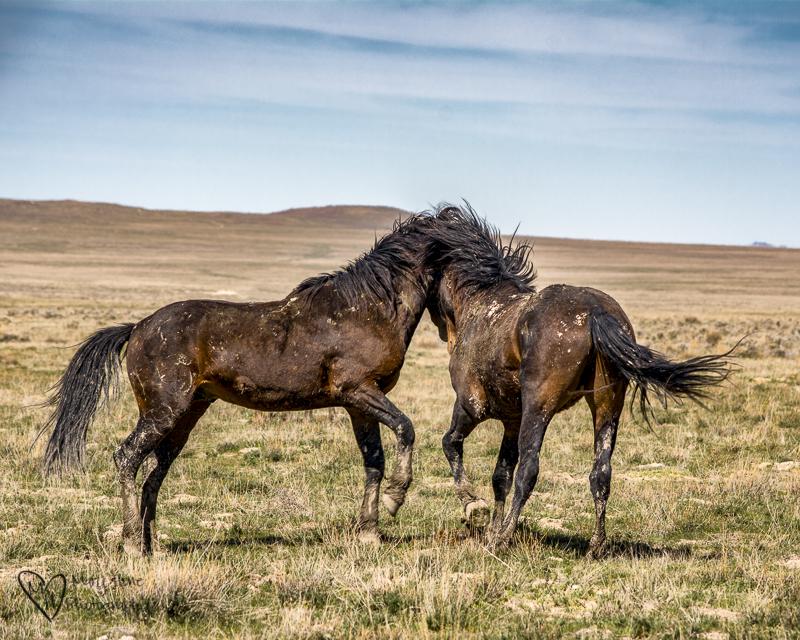 The Future of Wild Horses. Stallions. Wild Horses