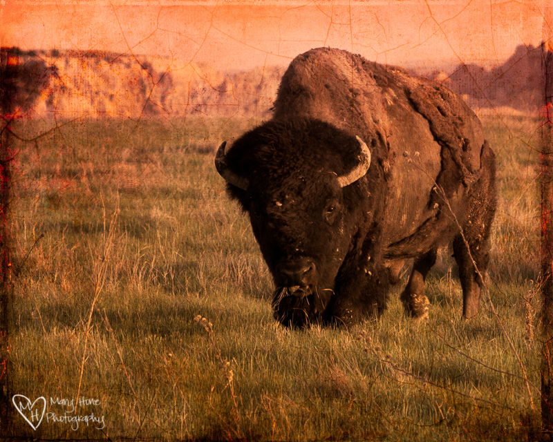 One with the Earth. Badlands Bison
