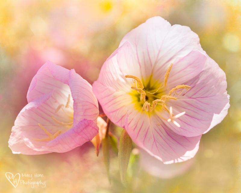 Wild Year for Wild Flowers. Evening Primrose