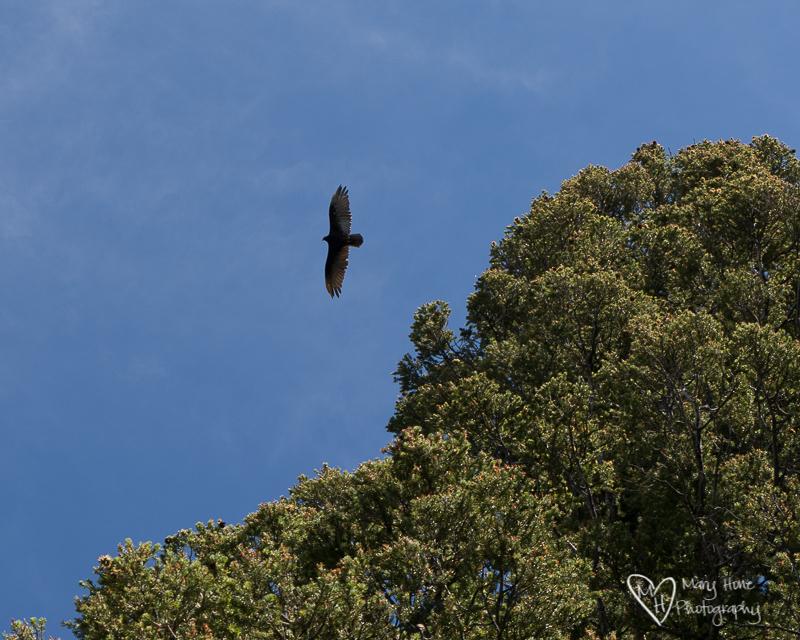 Buzzard in the sky