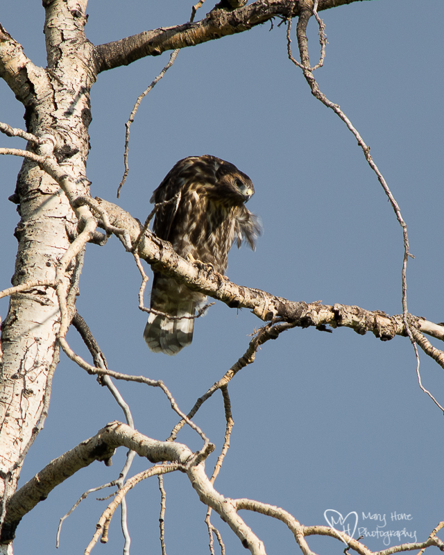 Young and old fledgling hawk