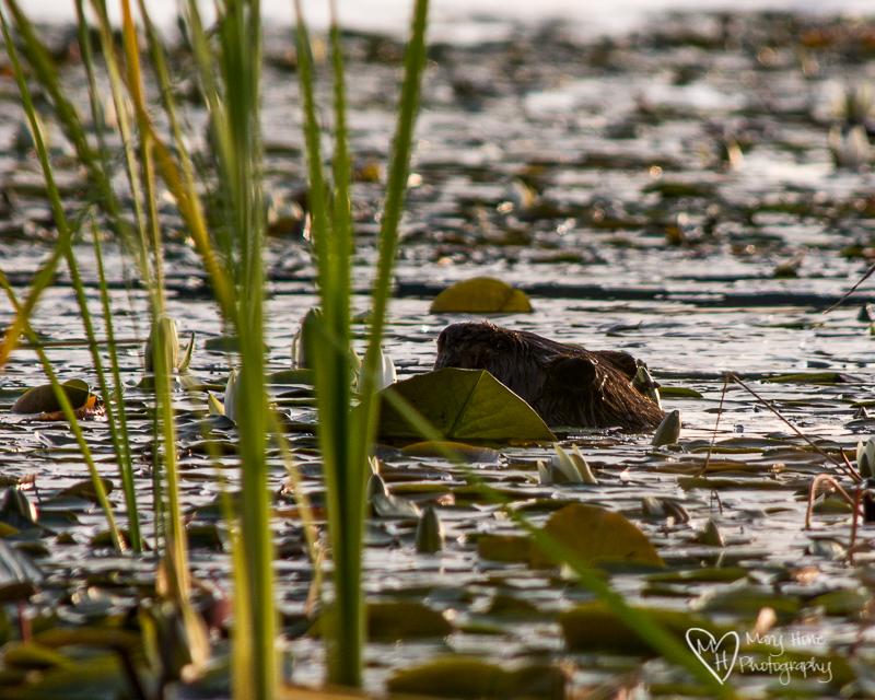 Seeley Lake, Montana Beaver