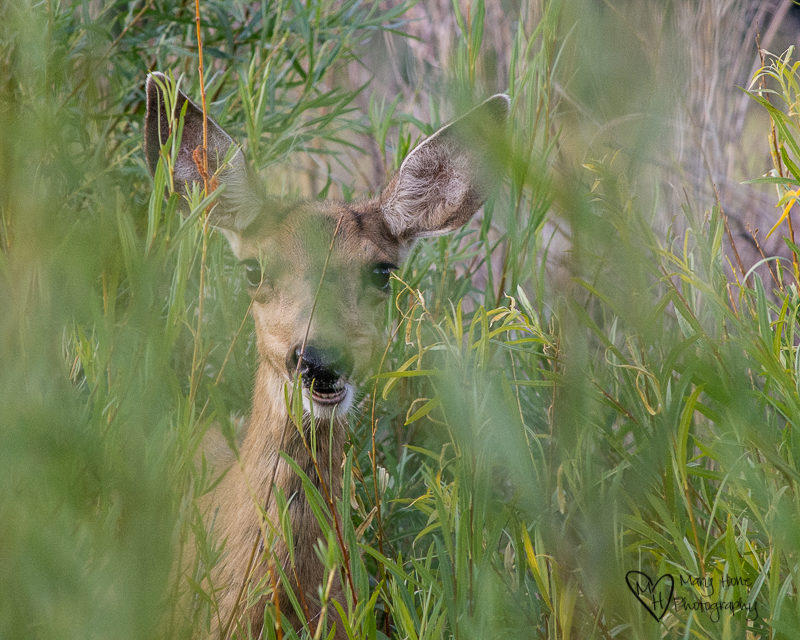 deer fawn in bushes