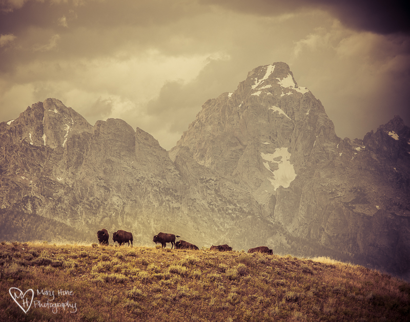 Bison on the ridge