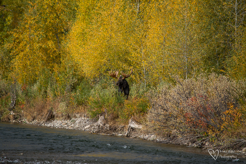 Bull moose on the river bank