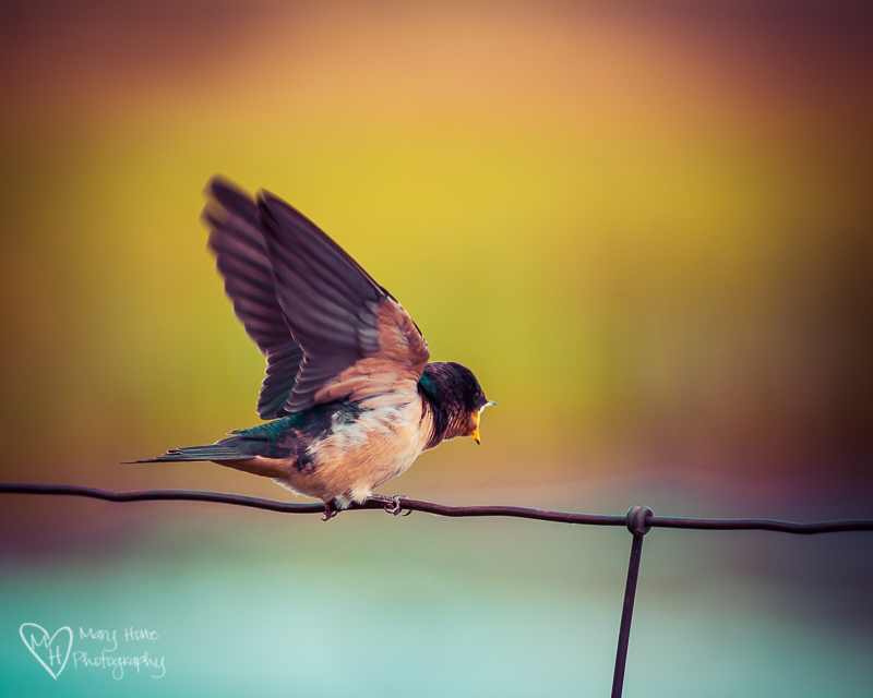 Swallow on a wire. Birds, Beautiful Birds