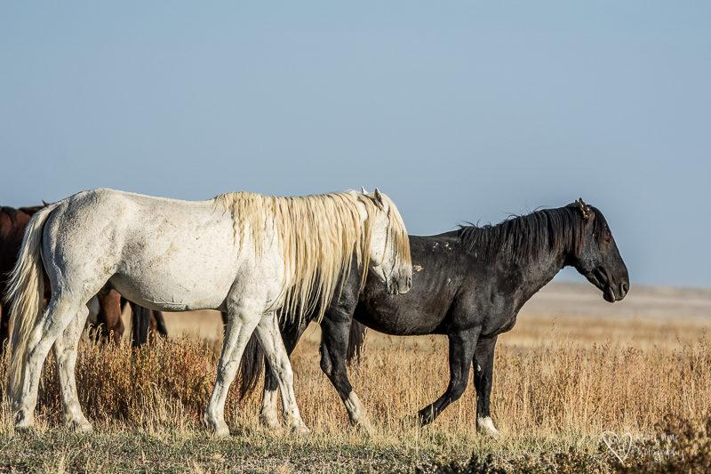 old wild horse stallion friends