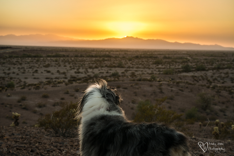 Aussie looking at sunset in arizona