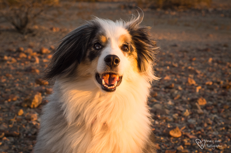 beautiful mini aussie in golden light