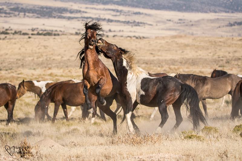 fighting wild horse stallions