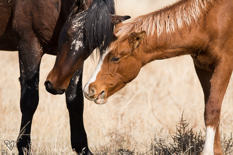 two wild horses nuzzling
