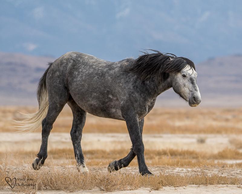 Gray wild horse stallion
