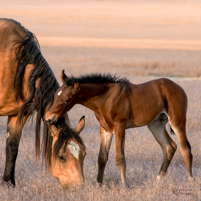 tiny wild horse colt chewing on moms ear
