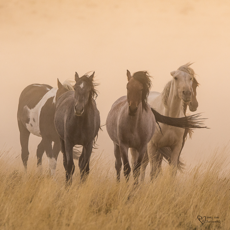wild horses in the dust