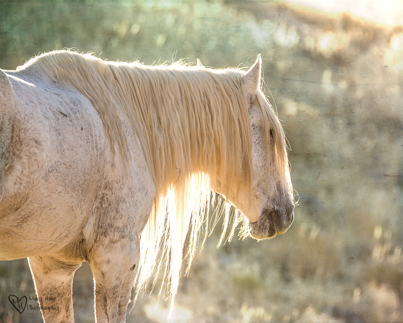 wild horse white stallion, Spending time with Wild Horses