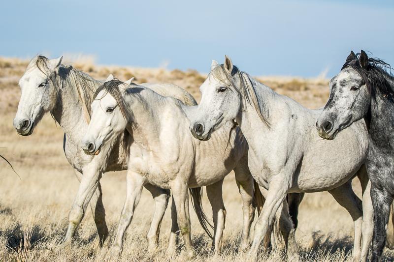 White Wild Horses