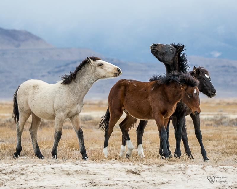4 young colt wild horses