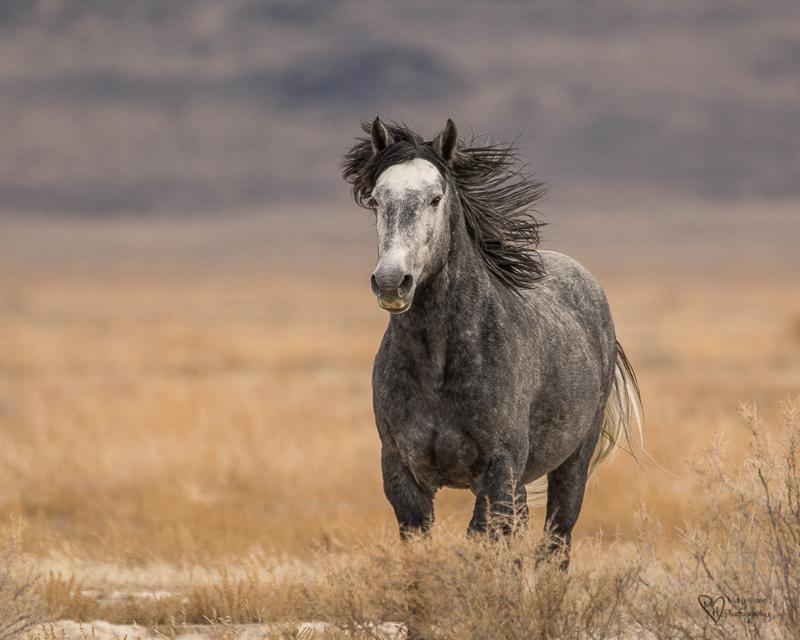 wild horse stallion running
