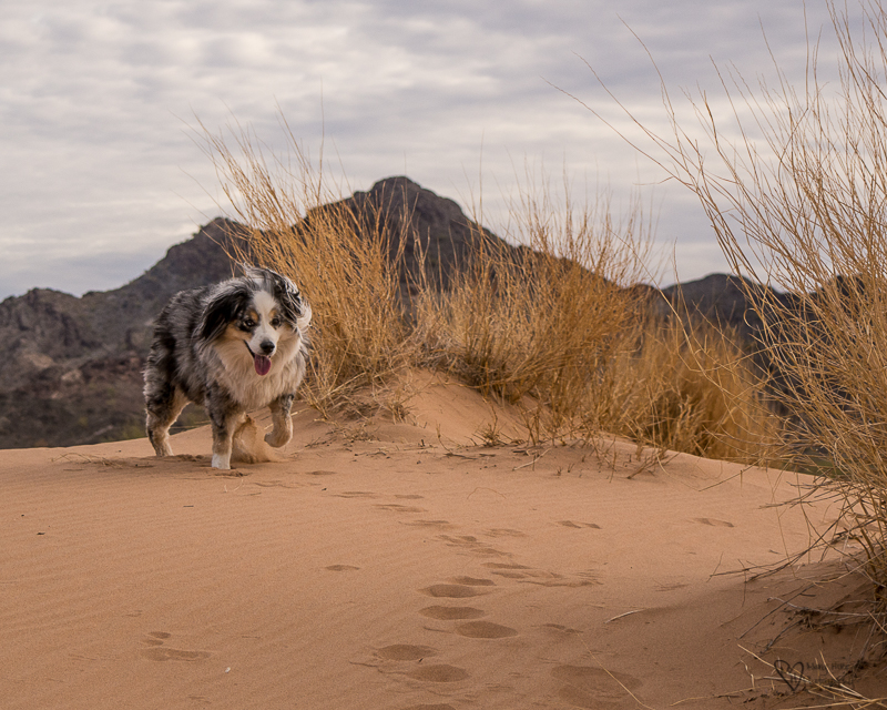 dog running in the sand dunes